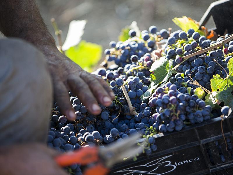 Saffer Wein Contessa Marina
