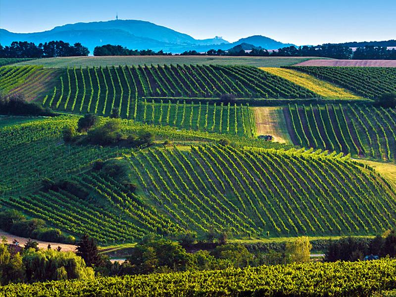 Saffer Wein Weingärten Falkenstein